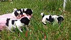 Shihtzu - lindos filhotes - canil de shihtzu
